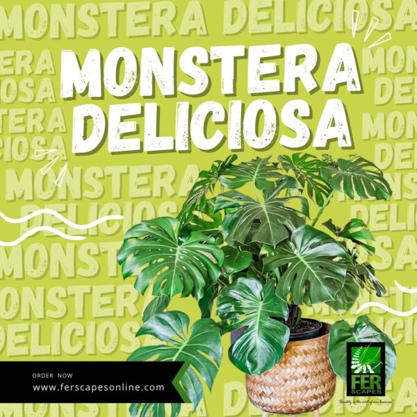 Buy Monstera Deliciousa at FER Scapes Landscaping Services, Inc.