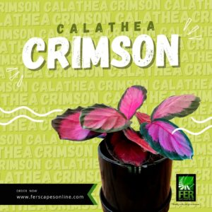 Buy Calathea Crimson at FER Scapes Landscaping Services, Inc.