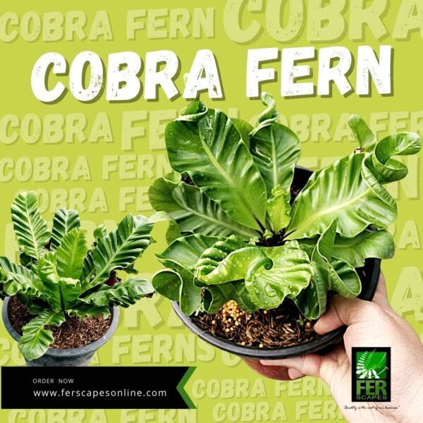 Buy Cobra Fern at FER Scapes Shop in Davao City
